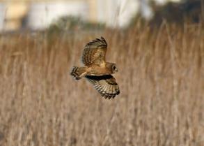 Marsh owl 028_edited-1