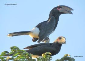 Trumpeter Hornbill pair 1