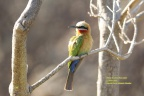 White-fronted Bee-eater2