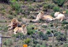 Corellskop Lions