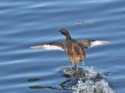 Little Grebe taking off