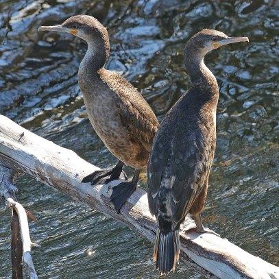 Juv. Cape Cormorants