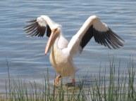 F50A Great White Pelican