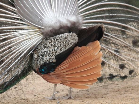 F51A Indian Peafowl