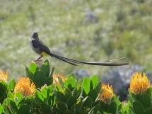 F56A Cape Sugarbird