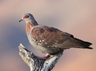 F61A Speckled Pigeon
