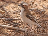 F62A White-browed Sparrow-Weaver