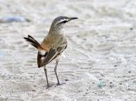 F63A Kalahari Scrub Robin