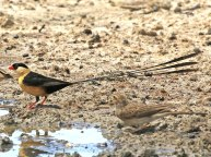 F69A Shaft-tailed Whydah