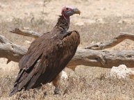 F70A Lappet-faced Vulture