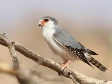 F71A Pygmy Falcon